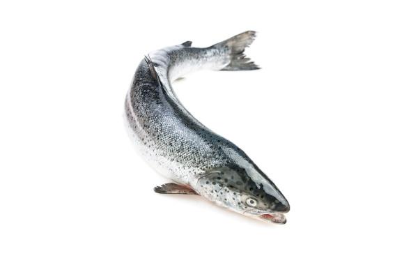 Ganzer Lachs mit Kopf geschuppt