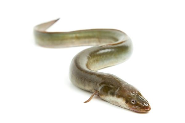 Aal grün mit Kopf